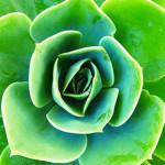 succulent-1263606_640